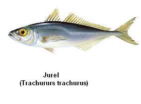 Jurel Image