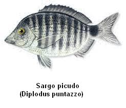 Sargo picudo Image