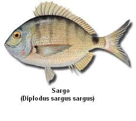 Sargo Image